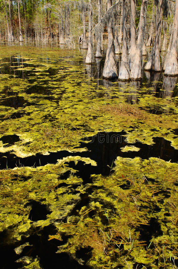 Florida mangroves royalty free stock photos