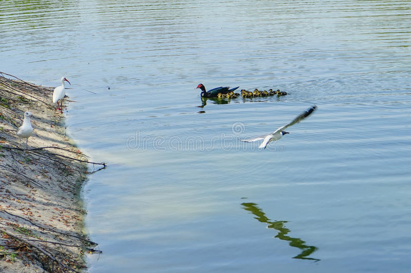 Florida Muscovy duck are swimming. Muscovy duck on grass land are swimming, taken in Florida stock photography