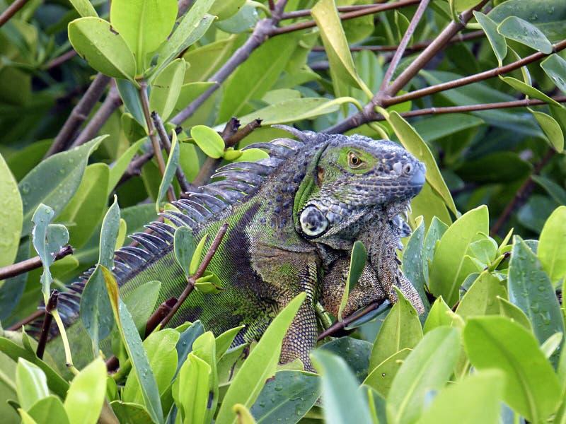 Florida nyckel- Largo, en grön leguan ser ut från filialerna av en mangrove royaltyfri fotografi