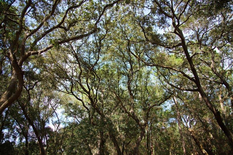 Florida oak trees stock images