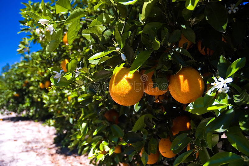 Florida orange grove. Fresh, ripe, juicy, golden oranges, still growing on the trees in this sun-drenched Florida orange grove. White orange blossoms are also royalty free stock image