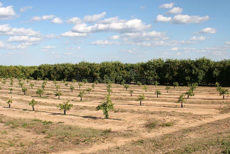 Florida-Orangen-Waldungen lizenzfreies stockfoto
