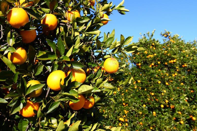 Florida Oranges stock images