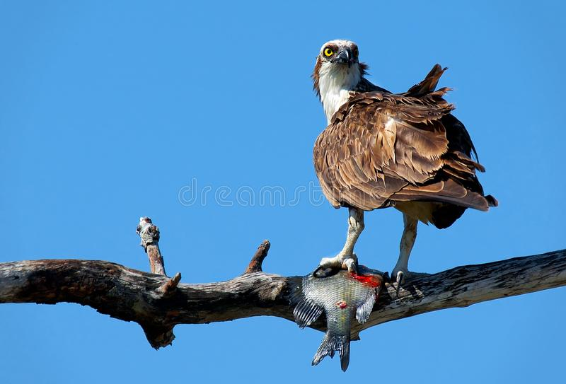 A Florida osprey on a branch with a fish. A Florida osprey on a branch with a fish caught in its talons against a cobalt blue sky royalty free stock photo