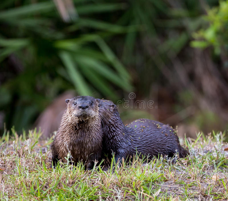 Florida Otters in spring. Hopping from one water pond to another in Florida royalty free stock photography