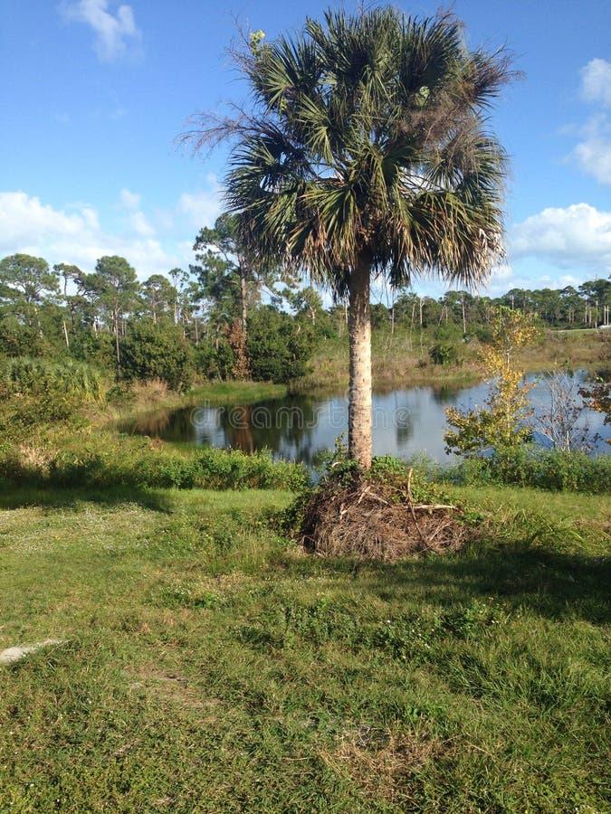 Florida-Palme lizenzfreie stockbilder