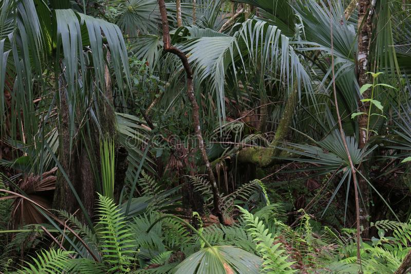 Florida Palmettos Growing in Florida Swamp Forest. In the Florida forest is palmettos ferns and scrub brush. This is very green with allot of foliage for the royalty free stock photo