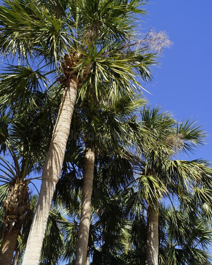 Florida palmträd arkivfoton