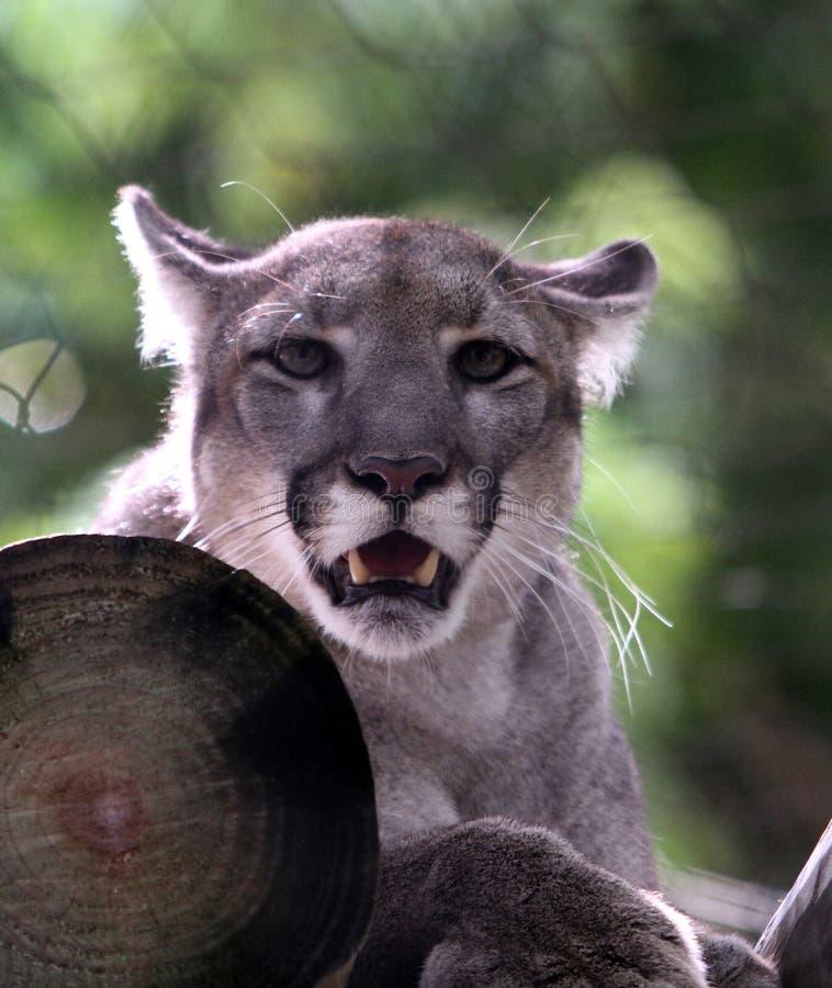 A Florida Panther stock photography