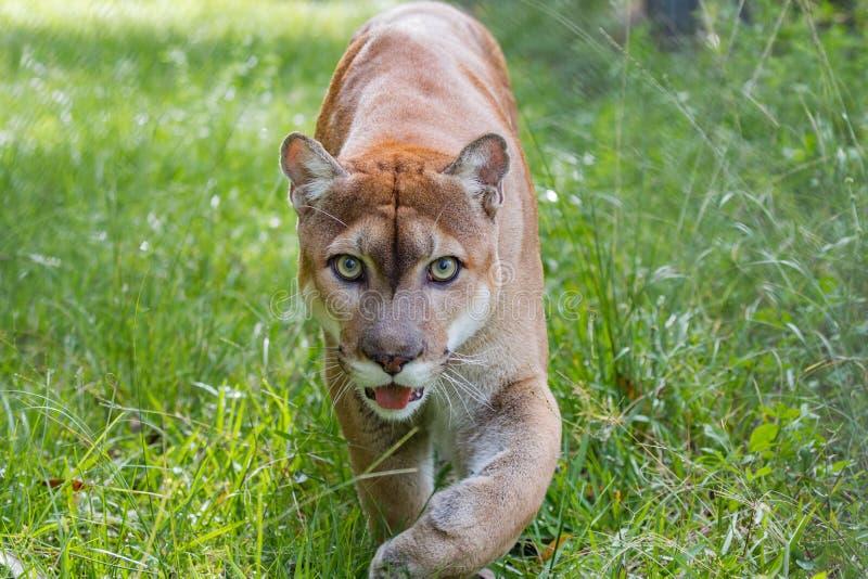 Florida Panther walks through high grass. Looking at camera stock photography