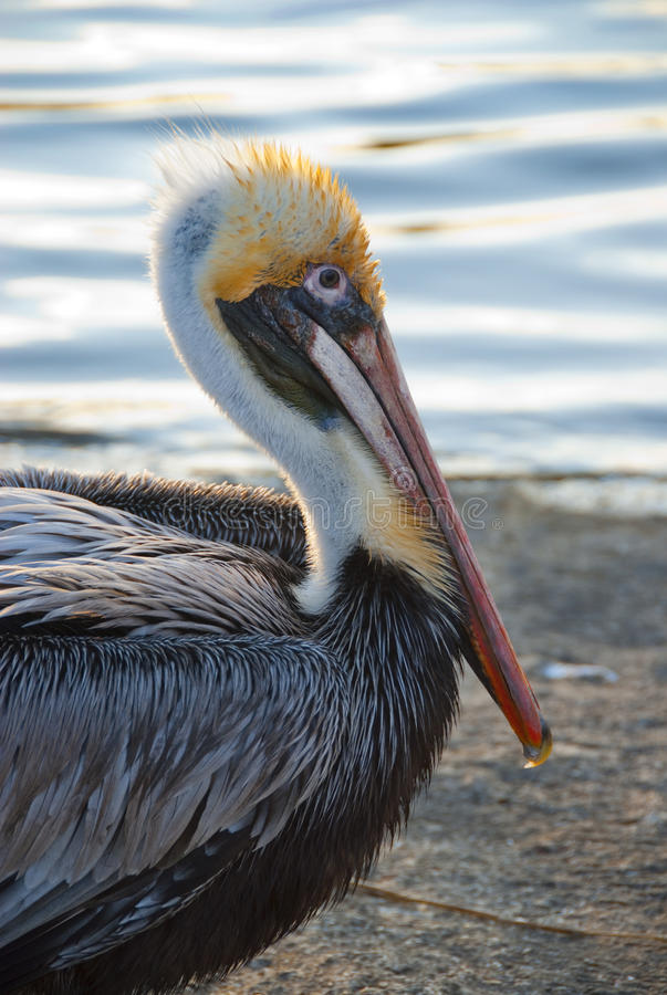 Download Florida pelican stock image. Image of wildlife, blue - 13557811