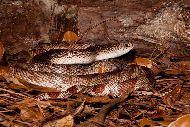Download Florida Pine Snake stock photo. Image of environmental - 26827386