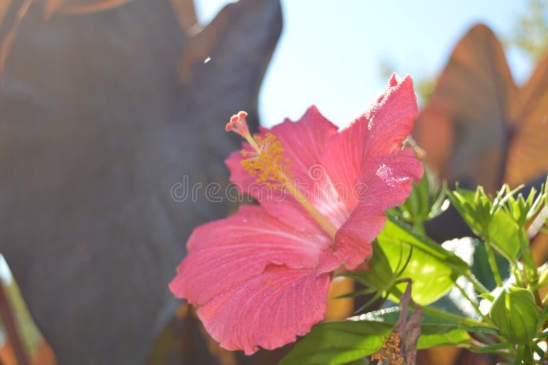 Florida Pink Hibiscus blomma arkivbilder