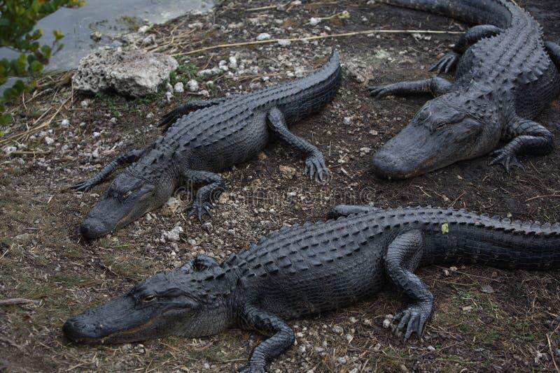 Florida& x27; s Aligator 库存照片