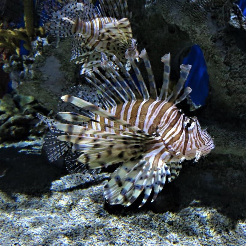 Florida`s fabulous lionfish in captivity stock photography
