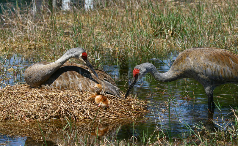 Florida sandhill crane and baby. A Florida sandhill crane and newborn baby on nest royalty free stock photo