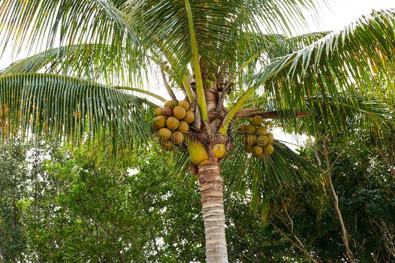 Florida Sanibel Captiva island coconut palm tree royalty free stock photo