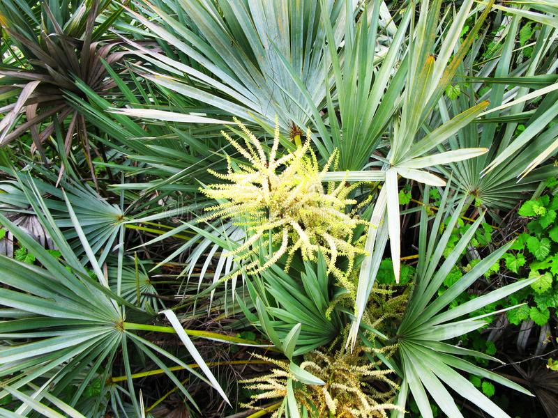 Saw Palmetto Tree. Florida Saw Palmetto tree with flower surrounded by lush vegetation stock photos