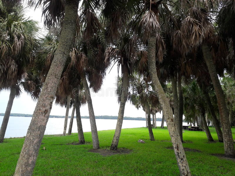 Nice scene of leaning palm trees in the park. stock image