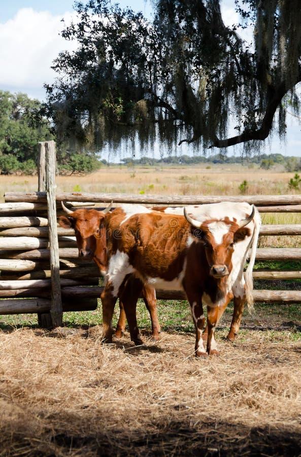 Florida schrobt koeien royalty-vrije stock foto