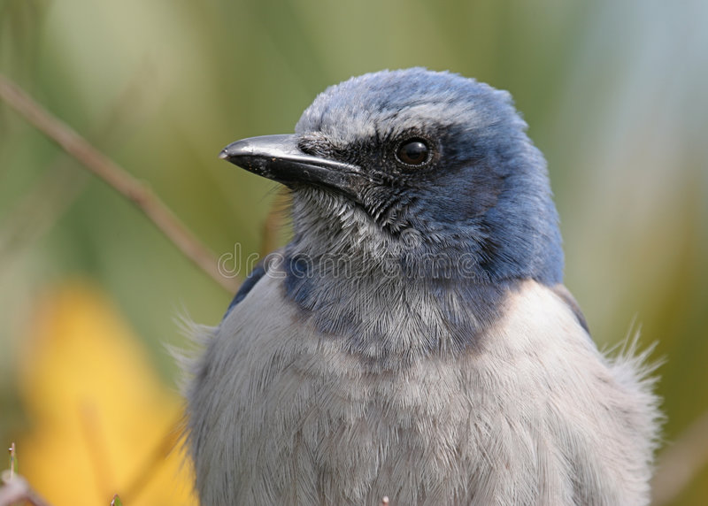 Download Florida Scrub Jay stock image. Image of scrub, endangered - 3246851