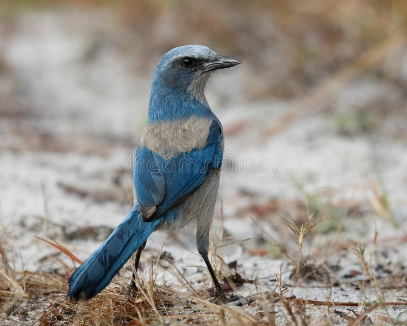 Florida Scrub Jay foraging on the ground - Port Charlotte, Florida. Florida Scrub Jay Aphelocoma coerulescens foraging on the ground - Port Charlotte, Florida royalty free stock photography