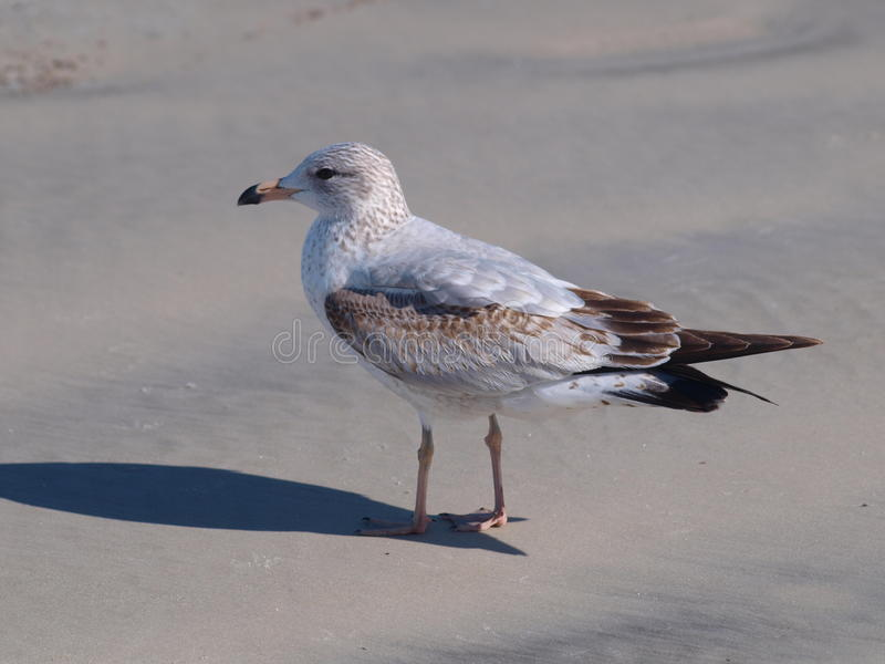 Download Florida Seagull stock photo. Image of surf, bird, wings - 52563046