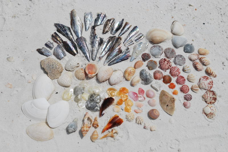 Florida Shells. An arrangement of shells found in a single visit to Tigertail beach on Marco Island, off the coast of Florida, in the Gulf of Mexico, USA. Major stock photography