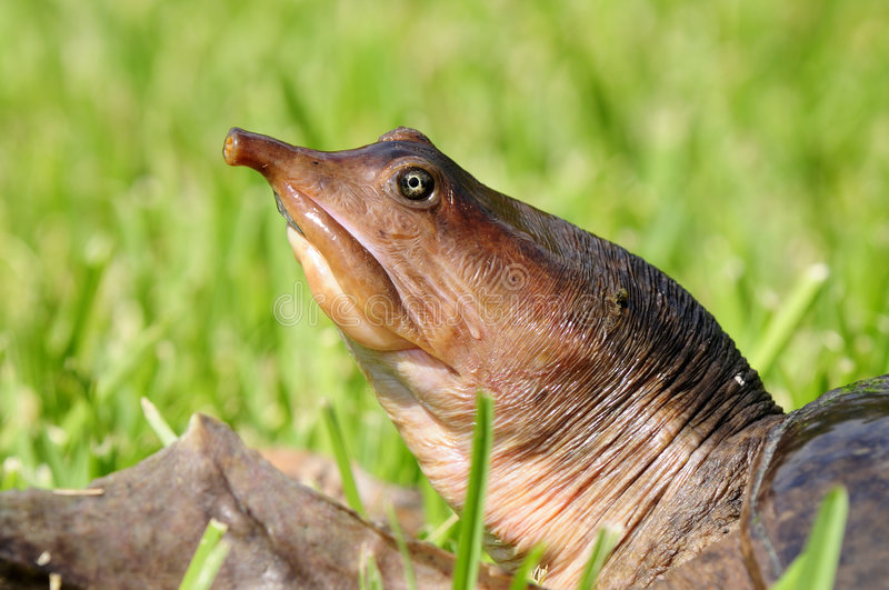 Florida Softshell Turtle. A Florida Softshell Turtle ( trionyx ferox ) basks on the side of a pond stock image