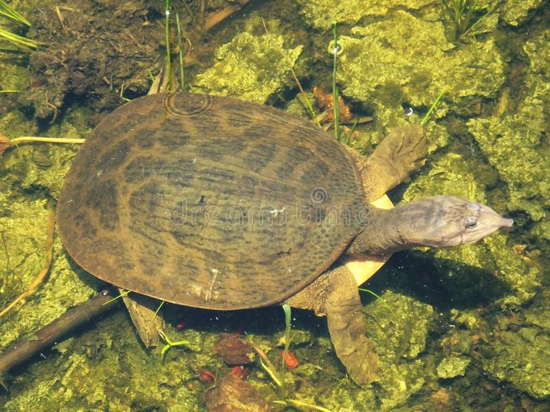 Florida Softshell Turtle (Apalone ferox). Florida Softshell Turtle baby swimming in the wetlands stock photography