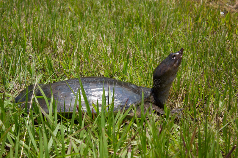 Florida softshell turtle. (Apalone ferox) in grass stock photo