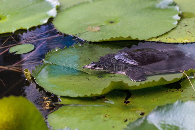 Florida softshell turtle Apalone ferox perches on a lily pad. Of a blue star water lily Nymphaea nouchali stock image