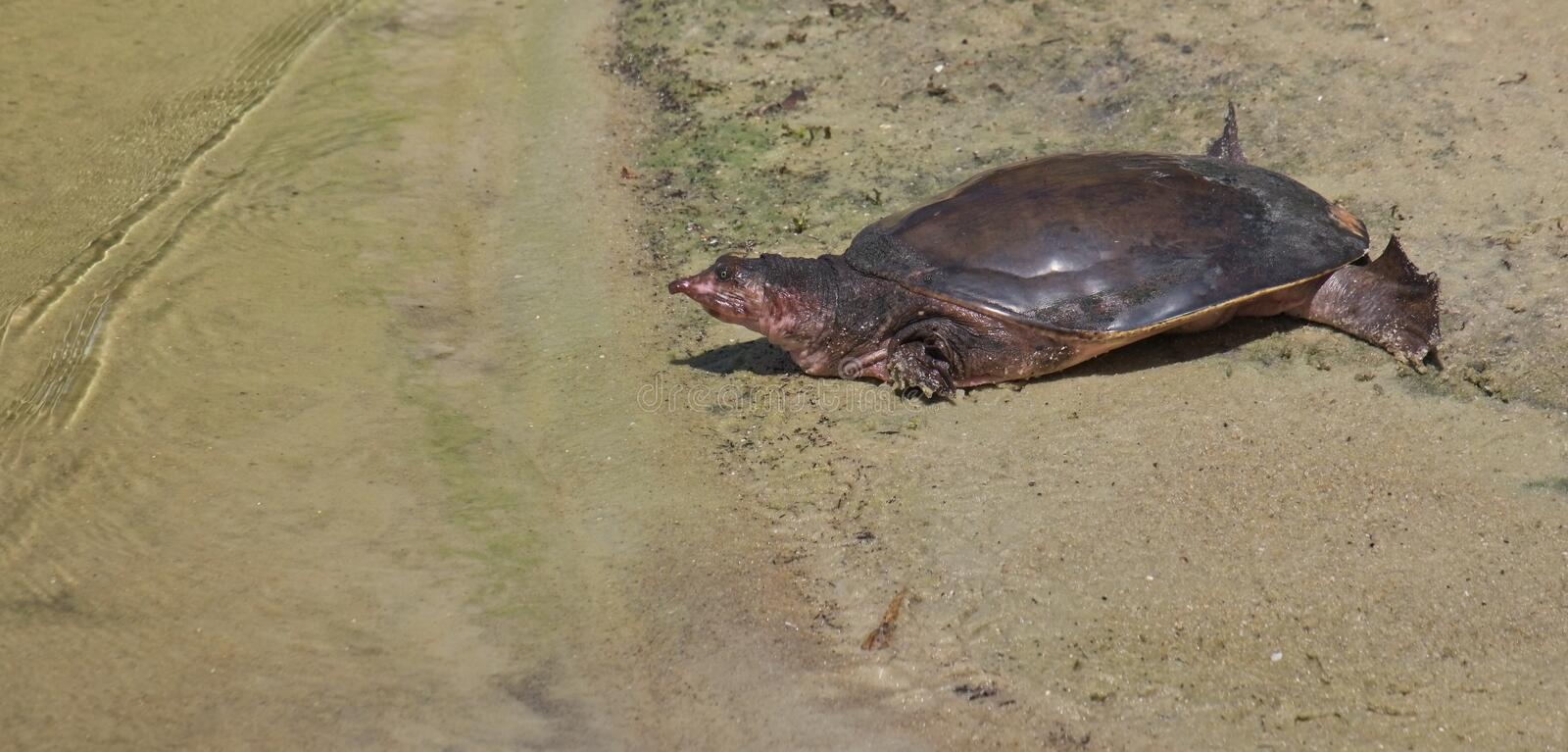 Florida softshell turtle, apalone ferox. Florida softshell turtle,apalone ferox, at the sandy shore of a lake in sunny florida with head out of shell and eyes royalty free stock photos