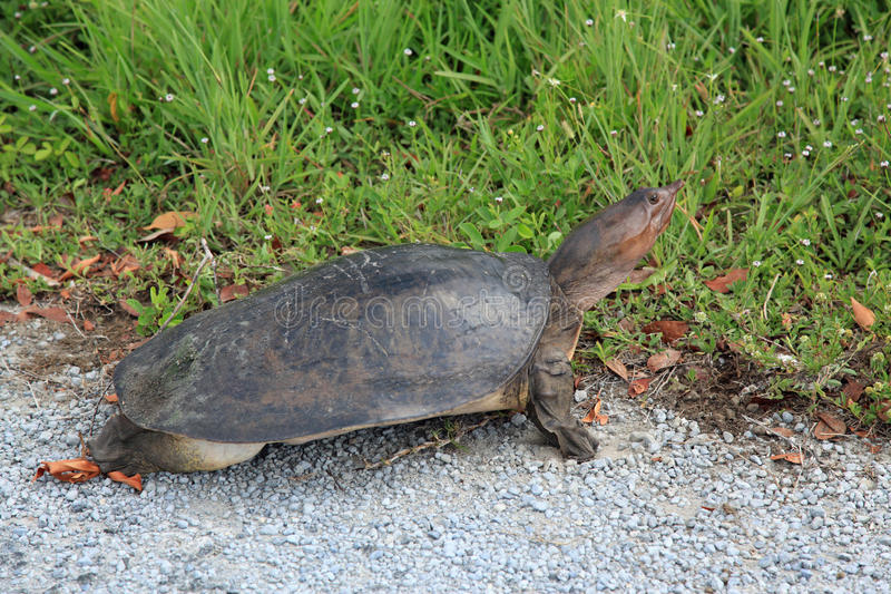 Florida softshell turtle. At everglades national park florida stock photography
