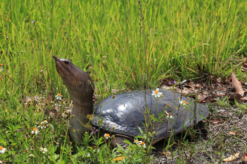 Florida softshell turtle. At everglades national park florida stock photo