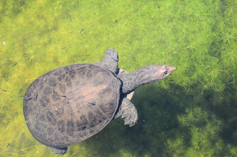 Softshell turtle in water. A Florida Softshell turtle swimming in a lake of a South Florida park stock photos