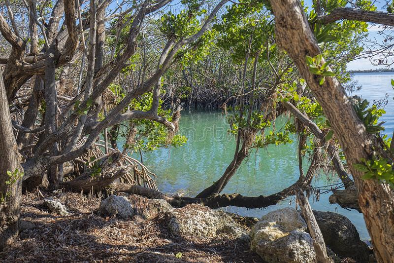 Florida stämmer mangrovar arkivfoton