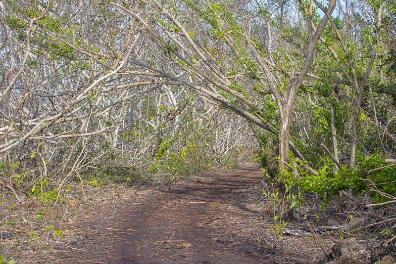 Florida stämmer mangroveslingan royaltyfria foton