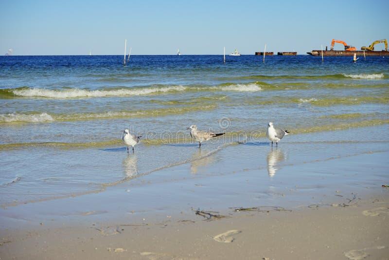 Florida St Petersburg strand: vila för fågel arkivfoton