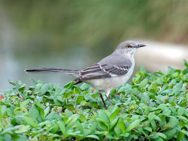 download florida state bird northern mockingbird stock image image 36650907