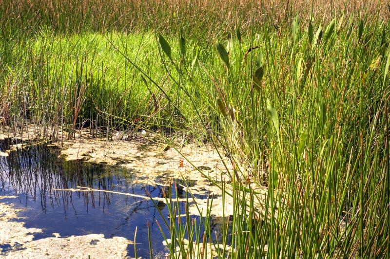 Florida-Sumpf-Teich Stockbild