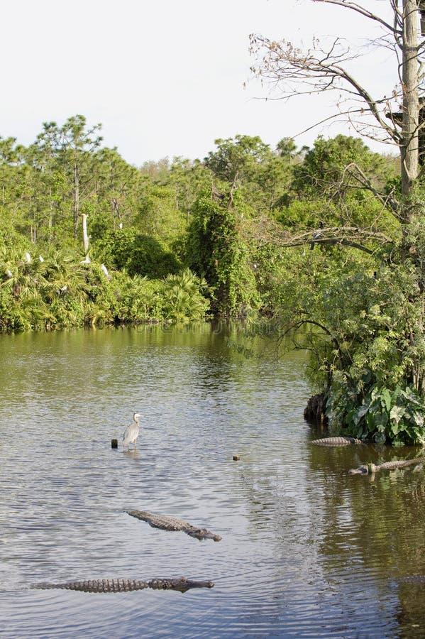 Florida-Sumpfgebietsumpf   stockfotos