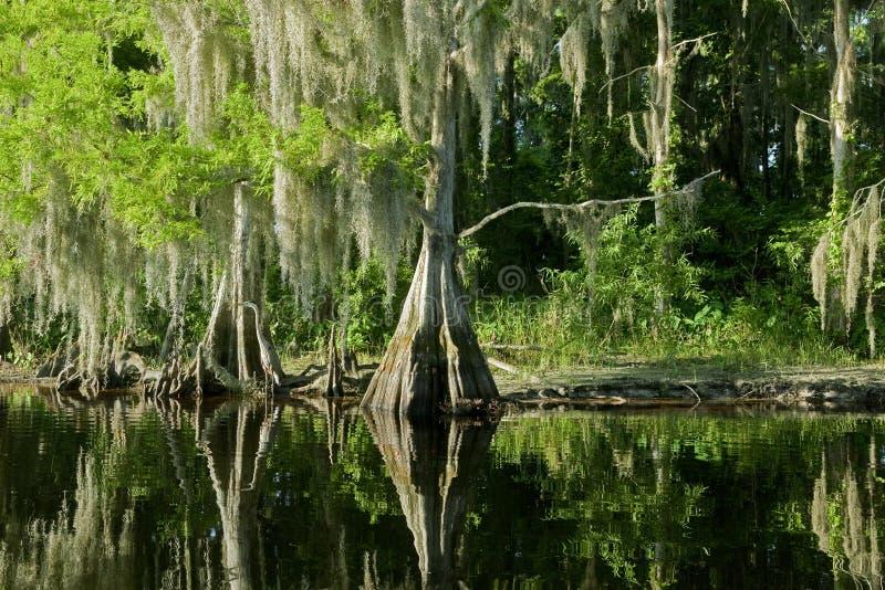 Florida-Sumpflandschaft mit Zypresse lizenzfreies stockfoto