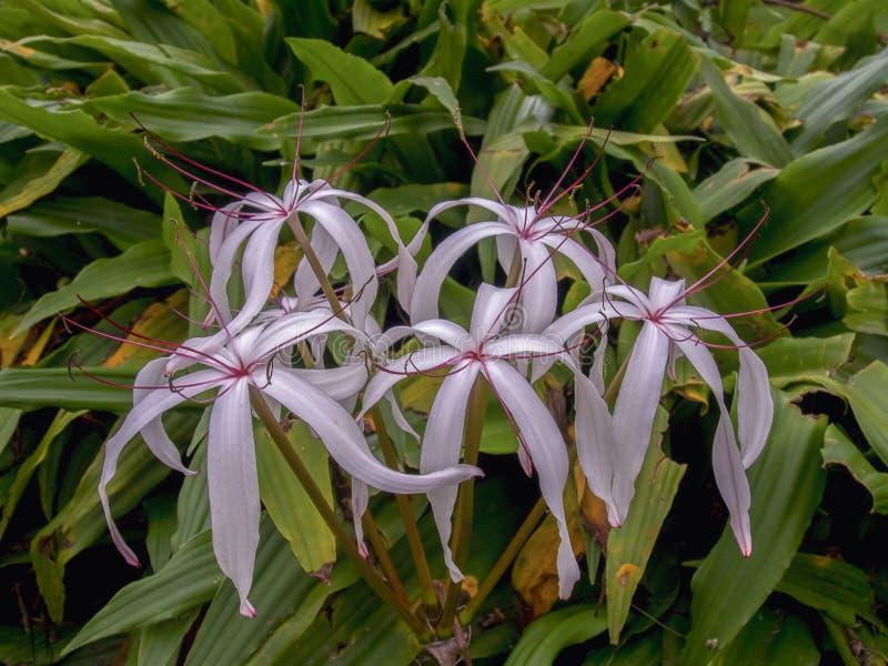 Florida-Sumpflilienblumen in einem Garten lizenzfreie stockbilder