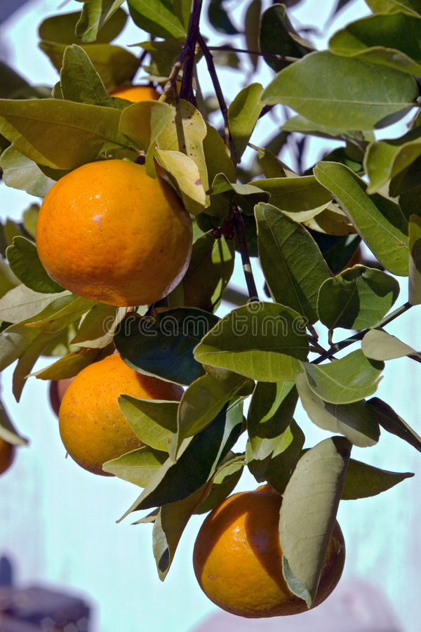Florida Tangerines stock images