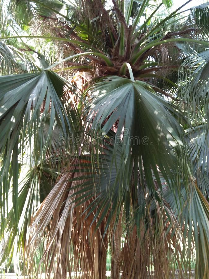 FLORIDA THATCH PALM & x28;TRINEX RADIATA& x29;. ALSO KNOWN AS JAMAICAN THATCH OR CHIT ,THIS PALM IS COMMON ALONG WITH SOUTH FLORIDA HIGHWAYS AND ALSO MAKES A stock photo
