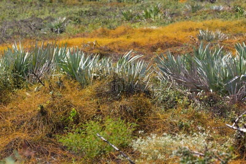 Florida typical scrub vegetation royalty free stock image