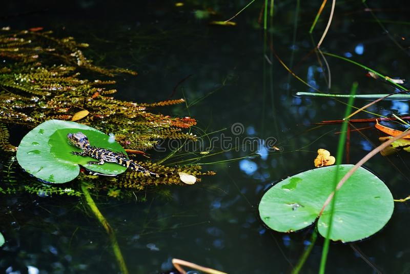 Florida usa gator park september baby alligator royalty free stock photo
