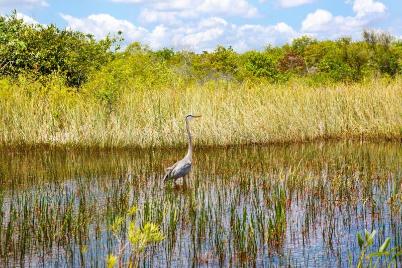 Florida våtmark, Airboatritt på Evergladesnationalparken i USA arkivbild
