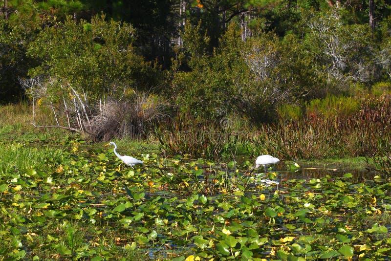 Florida wetland birds landscape stock image